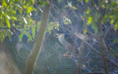 2015 San Lorenzo River Bird Study Released