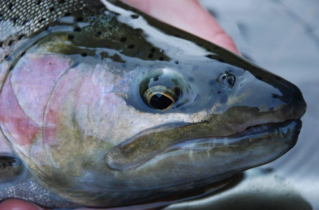 Rainbow Trout: Should I Stay Or Should I Go?