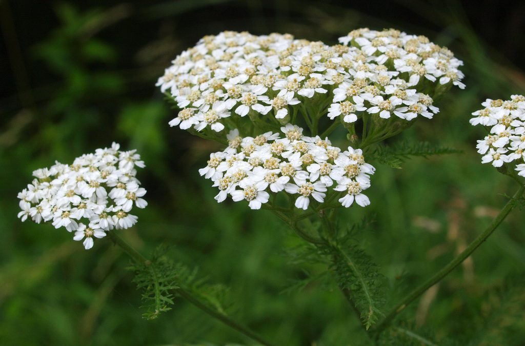 Growing along the River: Yarrow - Coastal Watershed Council